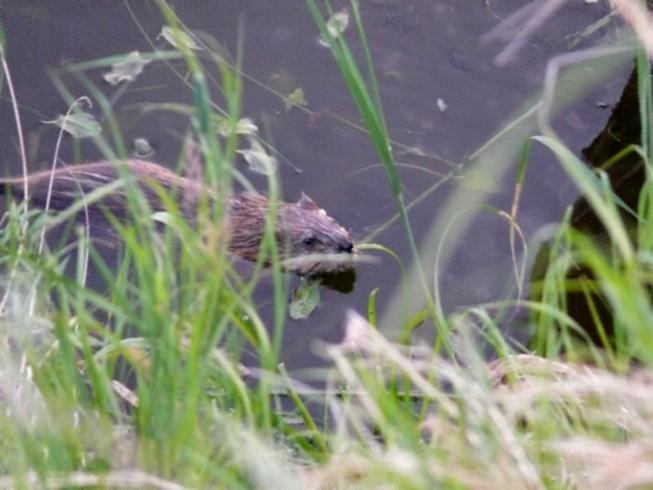 Dzīvnieks, kuru sastapām ezerā blakus nometnei